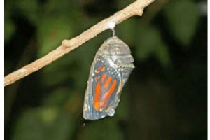 Butterfly and Cocoon