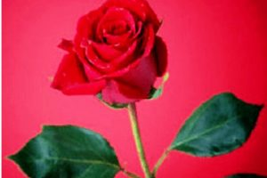 The Proud Red Rose